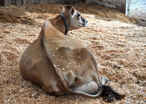 CowComfort